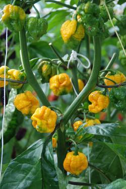 Carolina Reaper Yellow TP5968