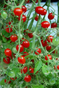 Baby Cherry Red 102