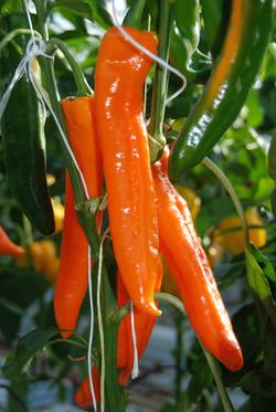 Sweet Point Orange TP3301