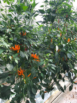 Rawit Orange TP5961