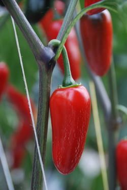 Jalapeño Red TP5960