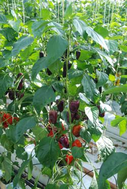 Snack Pepper Lilac TP4201