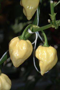 Habanero White TP5920