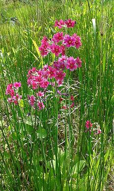 pink marsh flowers.jpg
