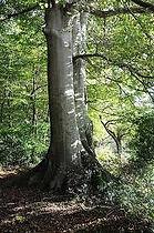 hetre arbre.jpg