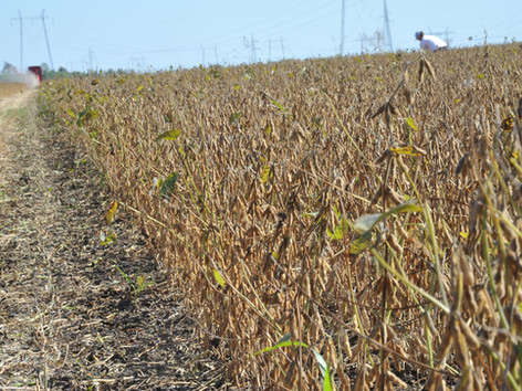 Soy-Harvest-crop-IFVC-October 2019.JPG