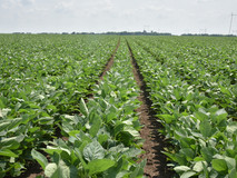 Soy-Field-IFVC-May-2019.JPG