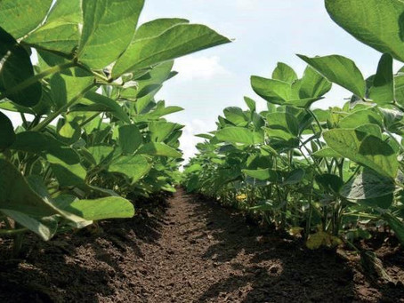 Practice Note 'Inter-row cultivation in soybean' available