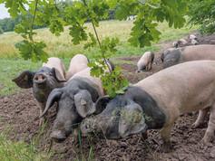 Pigs-on-field-BESH.jpg