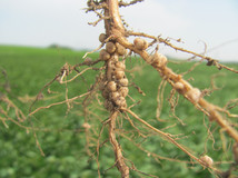 Soybean-nodules-Wasner-DS.jpg