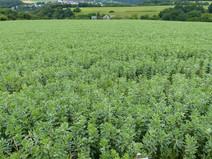 Faba-bean-cultivarbilbo-HaaseThrosten-LL