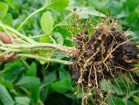 Practice Note 'Biological nitrogen fixation in legumes' published