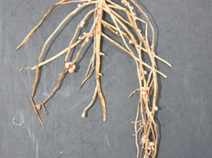 Faba-bean-roots-StoddardFred-HEL-May-201