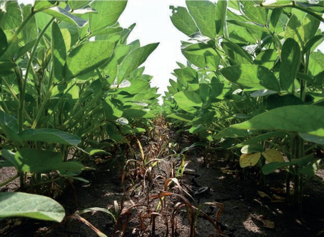 'Inter-row cultivation - Mechanical control of weeds in soybean crops' Practice Note published