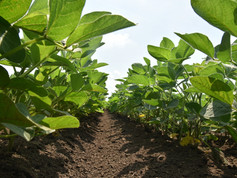 Soy-After-Cultivation-IFVC-May-2019.JPG