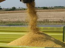 Pouring-soybean grain- nto - tractor-tra