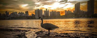 Goose. Randalls Island