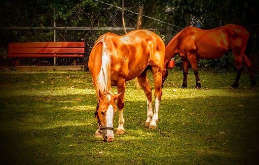 Horses. Randalls Island
