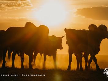 Confinamentos do oeste da Bahia consorciam pecuária e agricultura com ótimos resultados produtivos