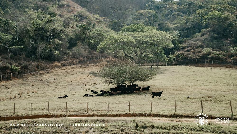 boi no pasto no confina brasil