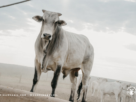 Sinop tem sinergia perfeita entre o alto padrão do gado e agricultura