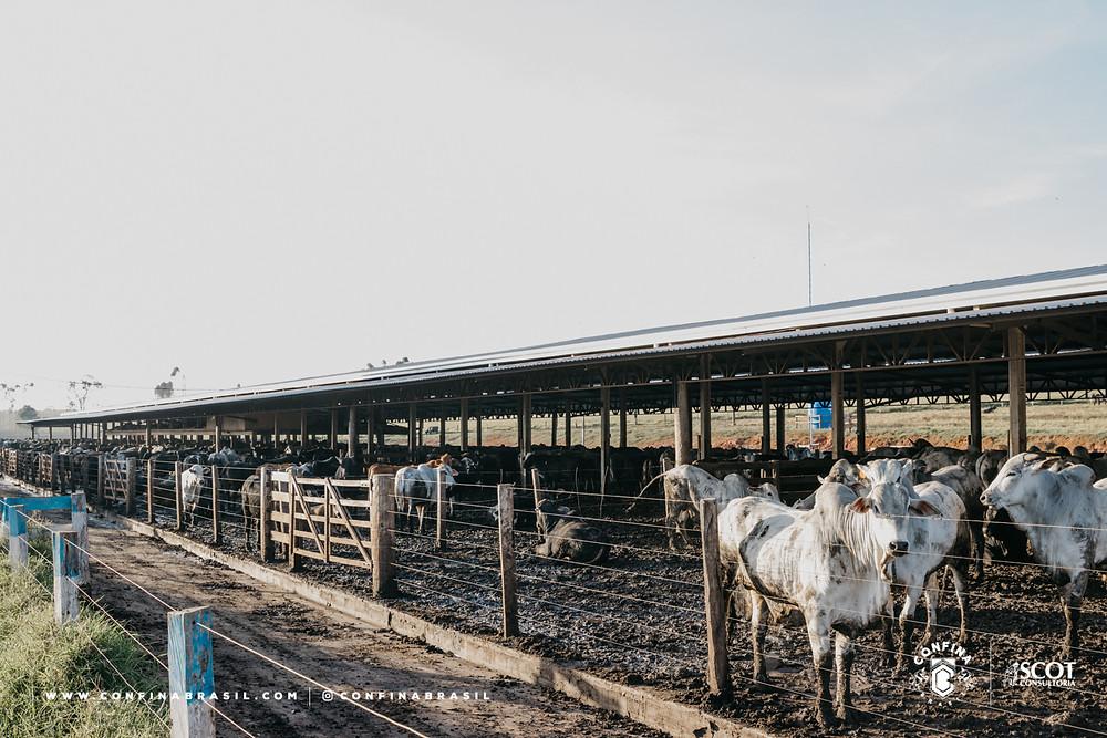 gado confinado no confina brasil