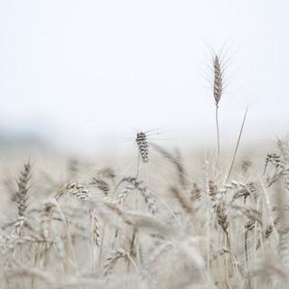 שיבולת בשדה