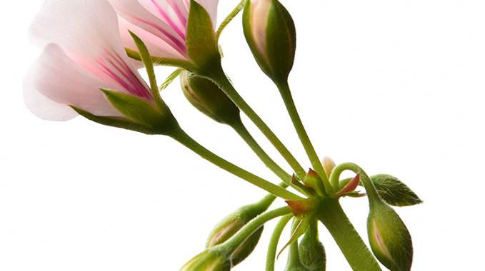 Incandesent Bloom