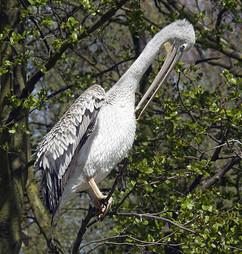 Pelican Pruning