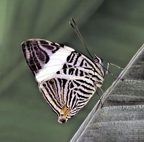 Zebra Mosaic (Colobura dirce)