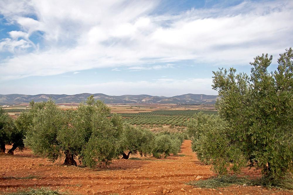 Olive grove in Sierra de Alcaraz