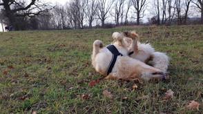 Hovawart-Hündin Malu freut sich des Lebens und wälzt sich im Gras
