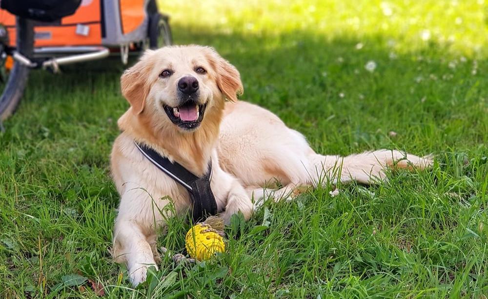 Hovawart-Hündin Malu liegt im Gras und wartet auf das nächste Spiel