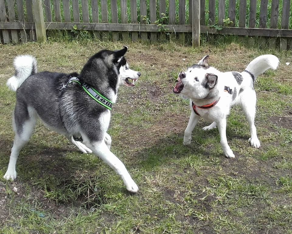 Typical husky play all teeth and smiles