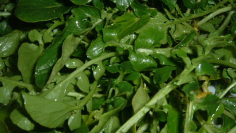Tapeworm in Spinach