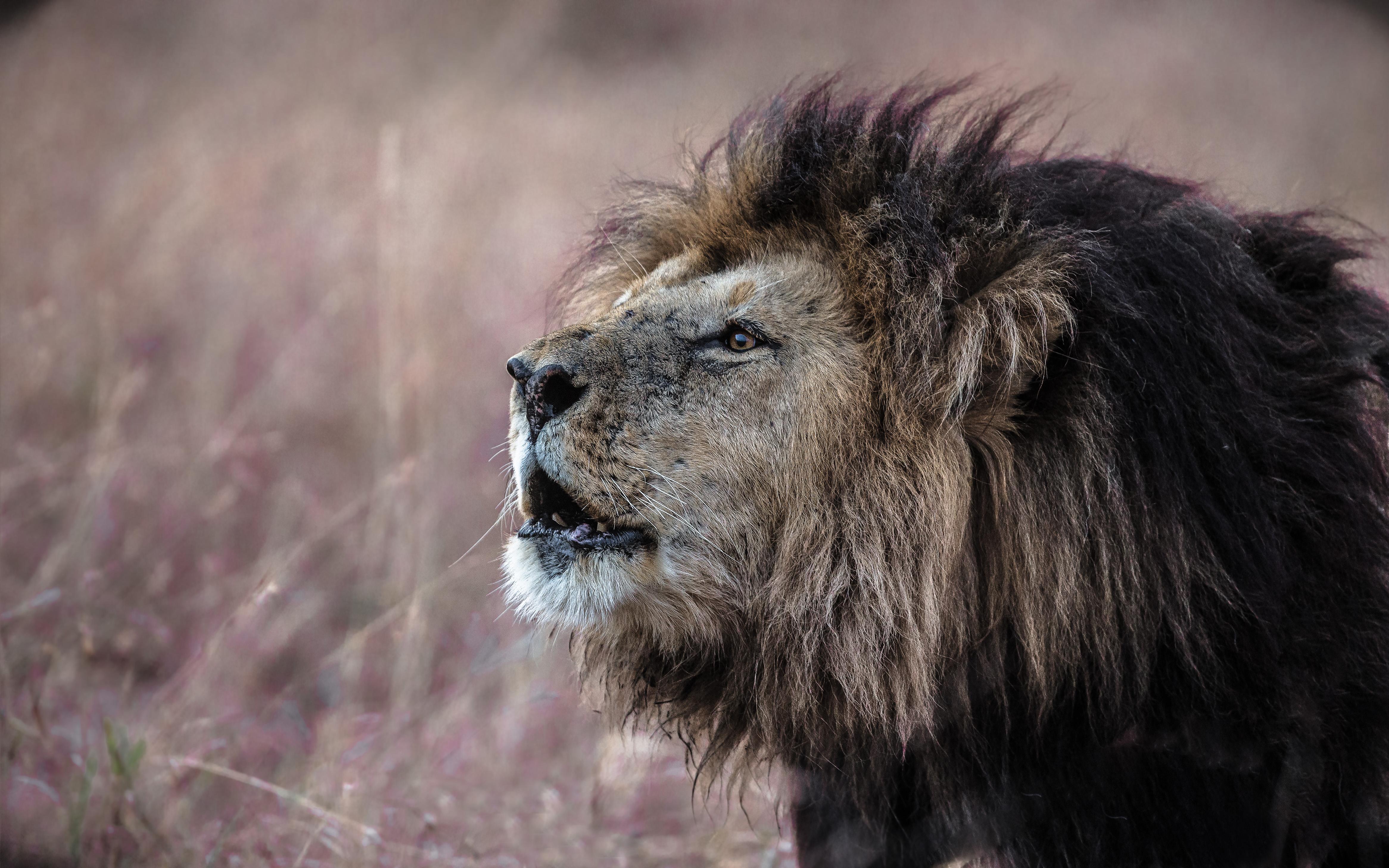 Lion - Blacky