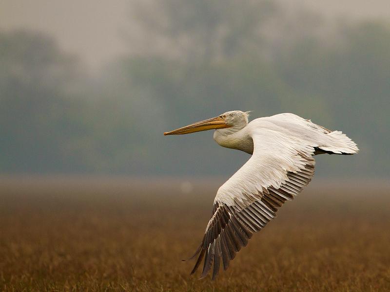 Pelican [Bharatpur]