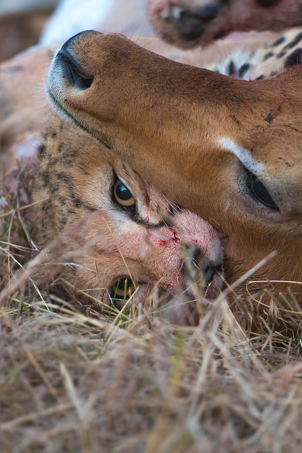 Cheetah-Impala Kill