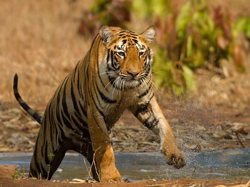 Tiger [Tadoba]