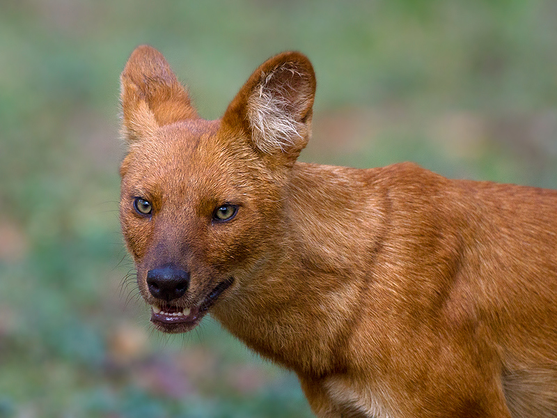 Dhole (Wild Dog) [Kabini]