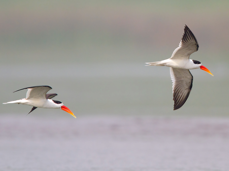 Indian Skimmer [Chambal]