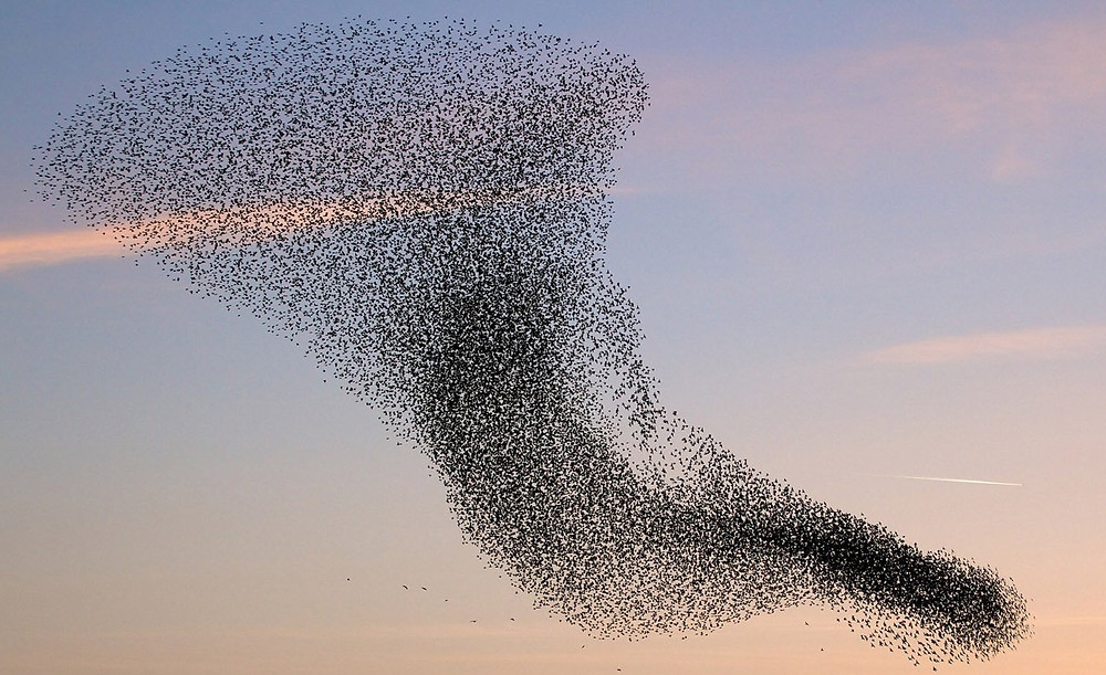A murmuration of starlings.