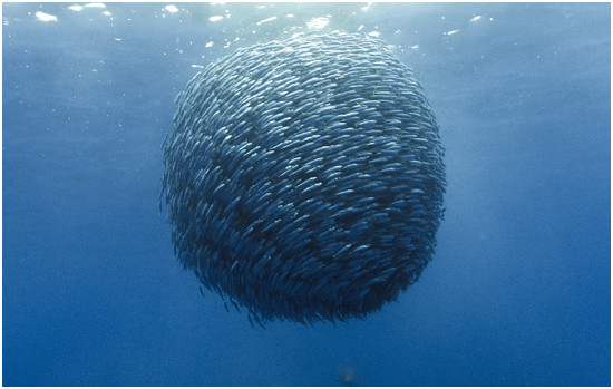 A bait ball of fish.