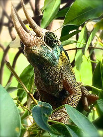 Animal communication, reptiles, Jackson's chameleon, chameleons