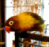 Black masked lovebird, animal communication