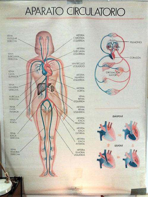 Cartel antiguo anatomía.