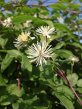 fleur de Bach Clematis.jpg