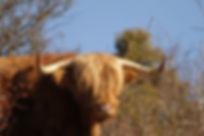 boeufs highlands-nature et progrès