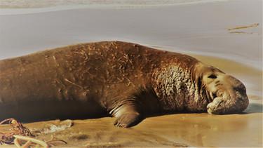 elephant seals & sublime coastline in california