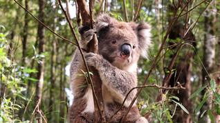 koalas, wallabies & emus in australia
